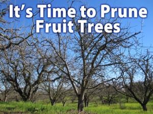 fruit-tree-pruning-300x225